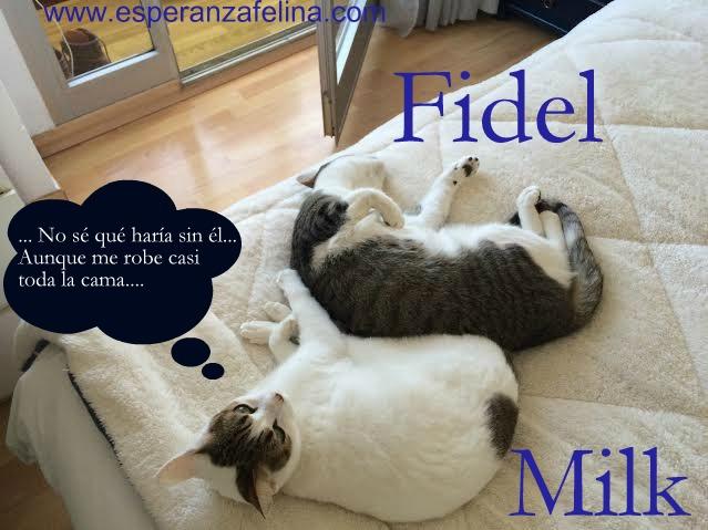 Fidel y Milk, pareja gatuna en adopción. (FN. Abril 2012) ¡Adoptados! Ibi93c