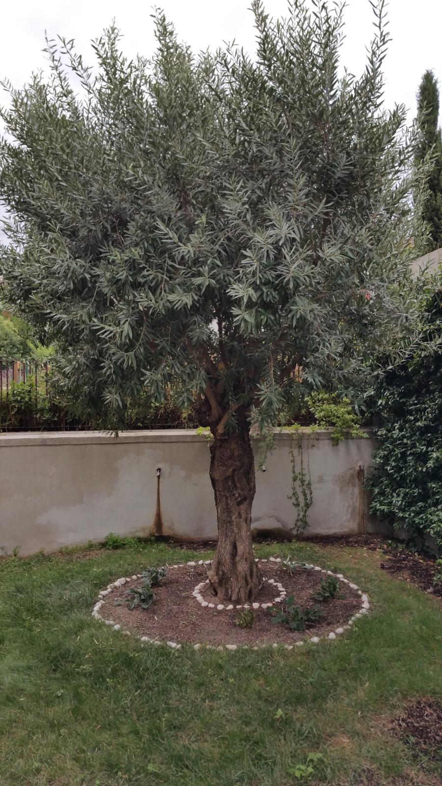 ¿Qué le pasa a mi olivo que no me alegra con aceitunas? (Madrid) Ipntoh