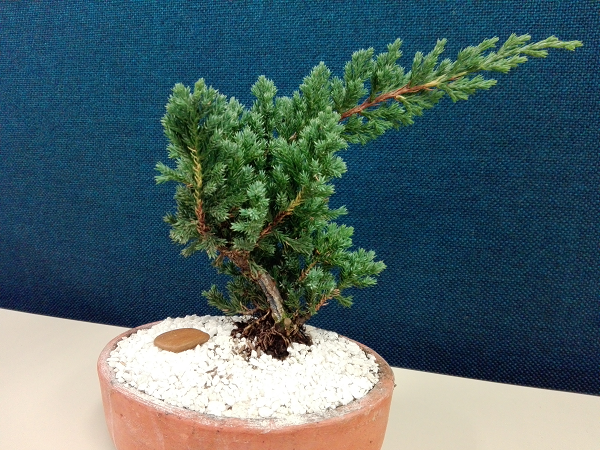 Bonsai Pino Nana o Juniperus Procumben Jt8bxe