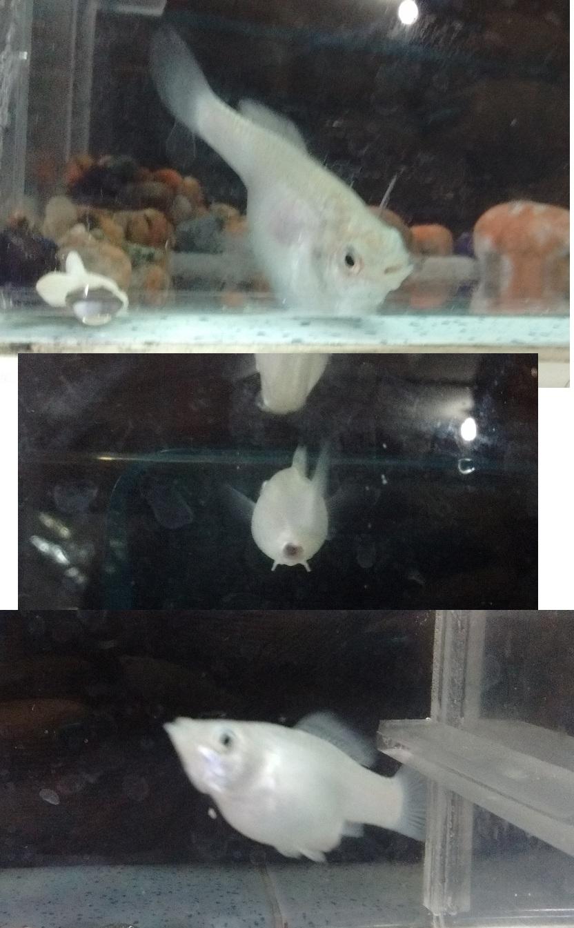Ayudar a parir a molly - no puede parir mi pez  N1qo3t