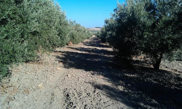 Olivar a finales de verano en Sierra Morena y el alto Guadalquivir Rk0hly