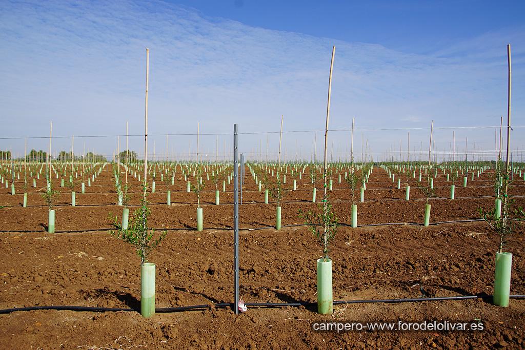 Plantación de olivar superintensivo en emparrado (Badajoz) Rw2yaw