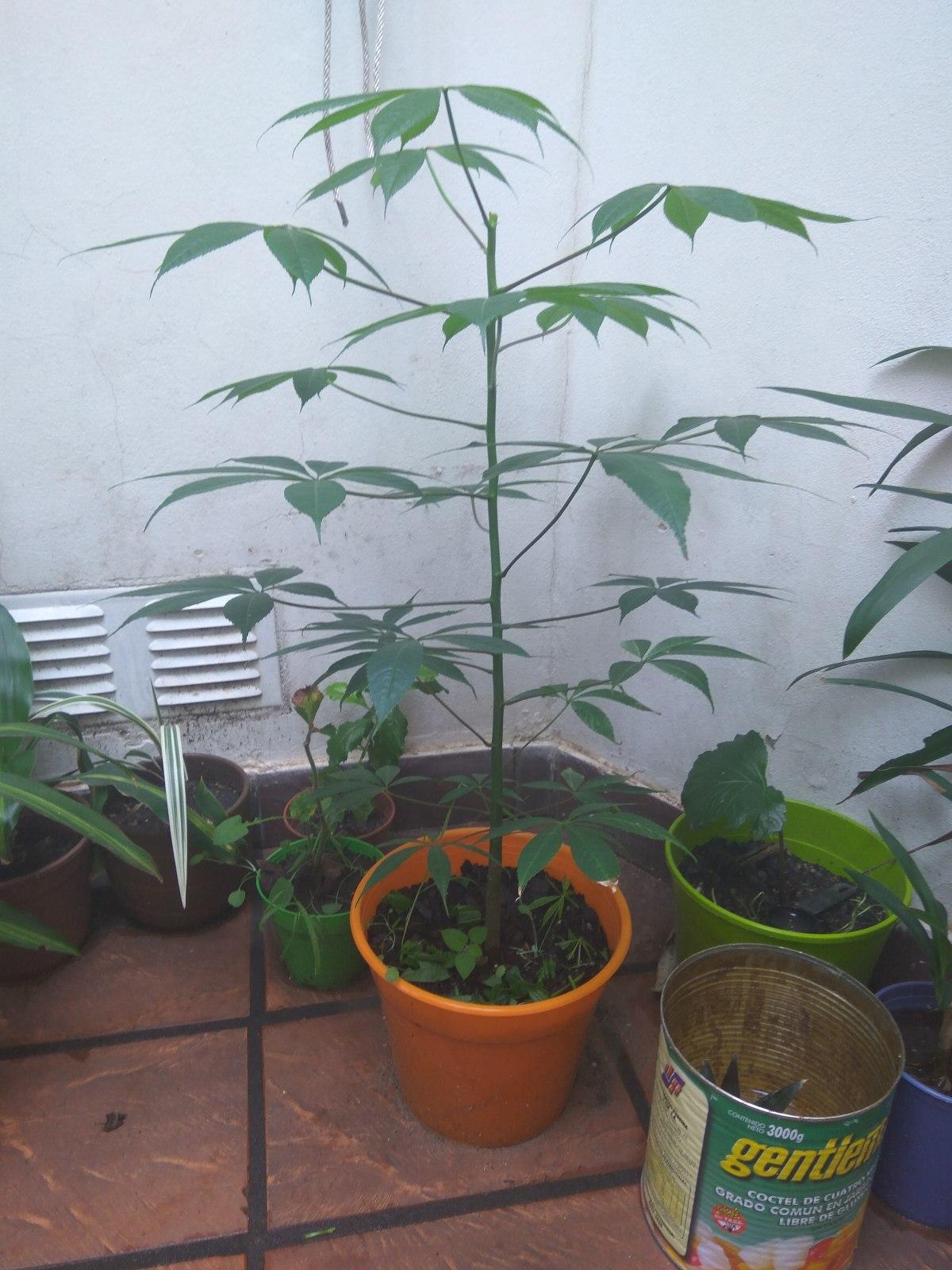 Palo Borracho de semilla Ven4i8