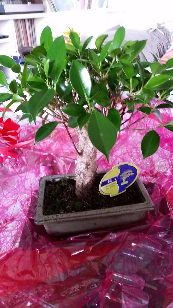 Mi primera vez: Ficus Retusa (muchas preguntas) Zkl9br