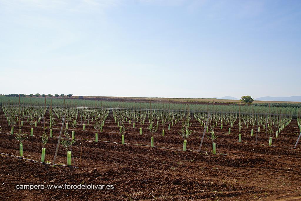 Plantación de olivar superintensivo en emparrado (Badajoz) 10gbrte