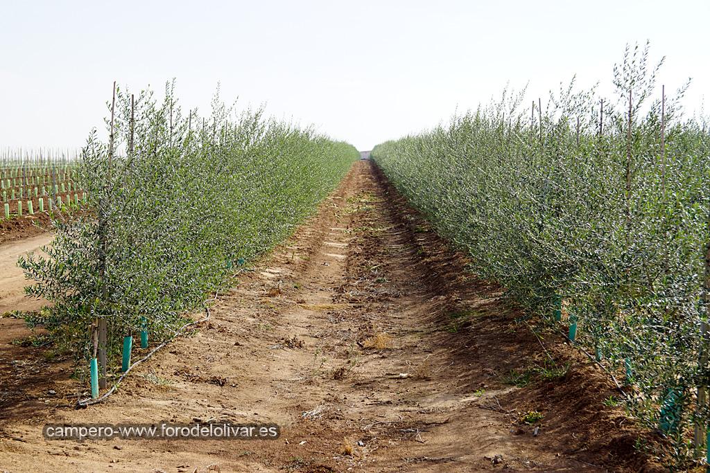 Plantación de olivar superintensivo en emparrado (Badajoz) 11hyob6
