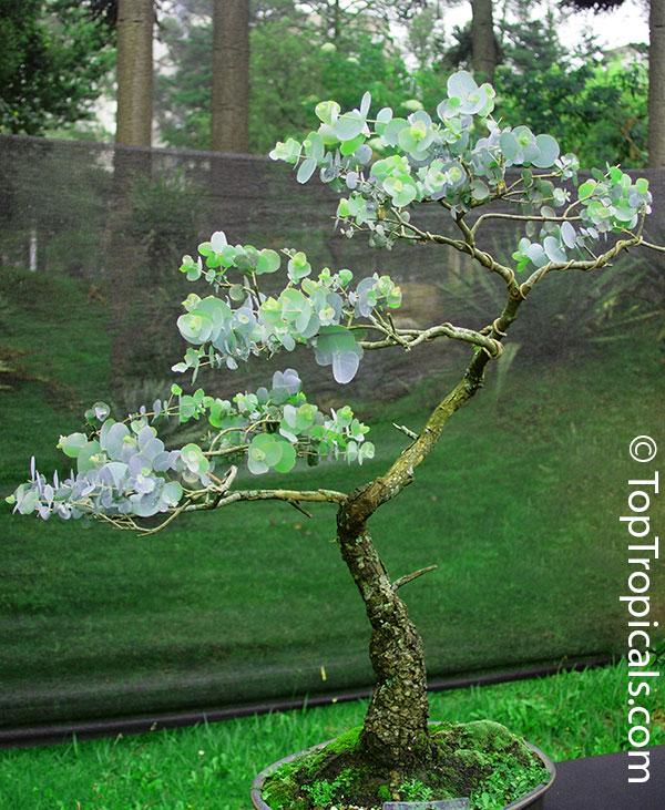 Cómo cultivar Eucalipto Cinerea [Pseudo Tutorial] 25z0cd0
