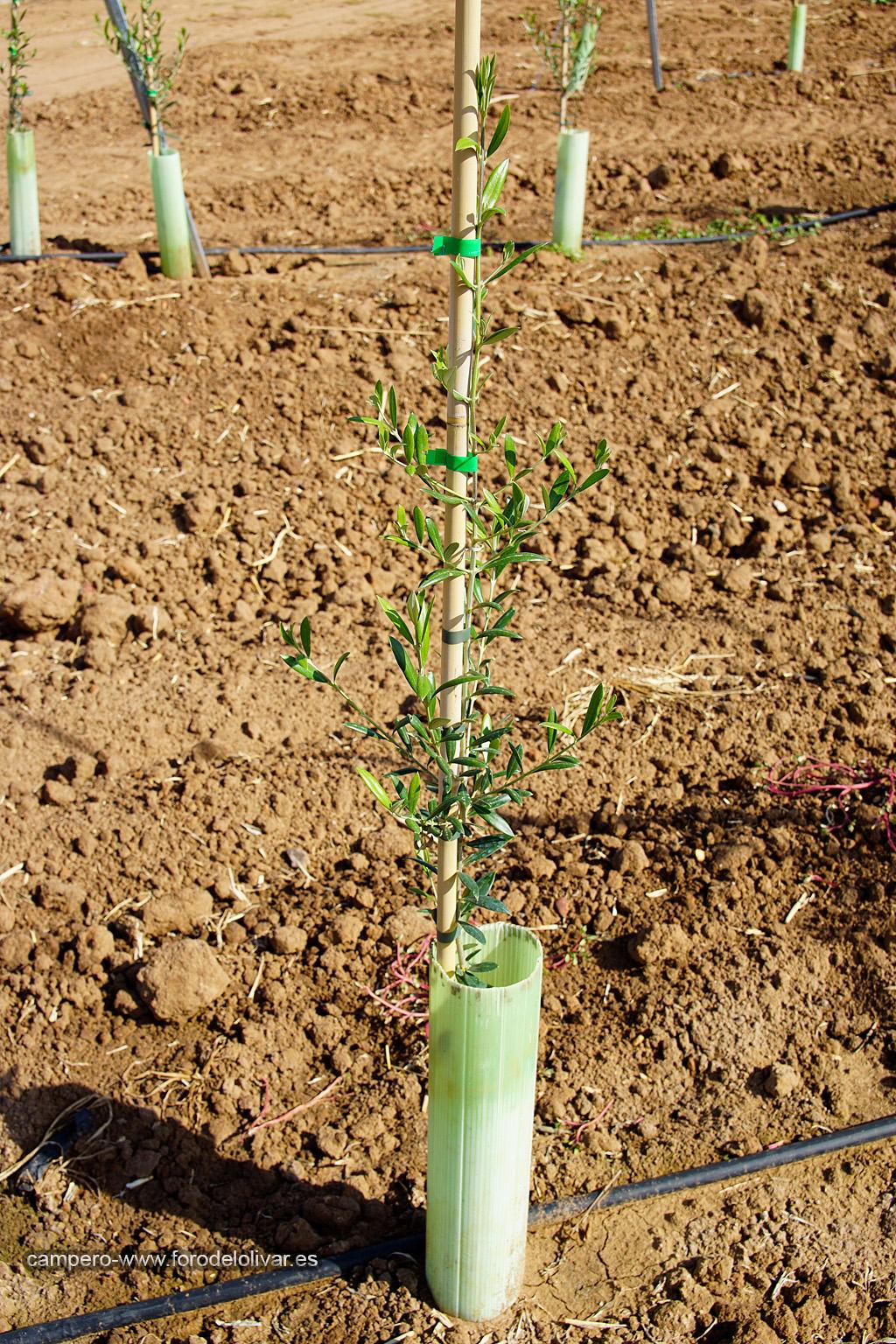 Plantación de olivar superintensivo en emparrado (Badajoz) 2dmgqo7
