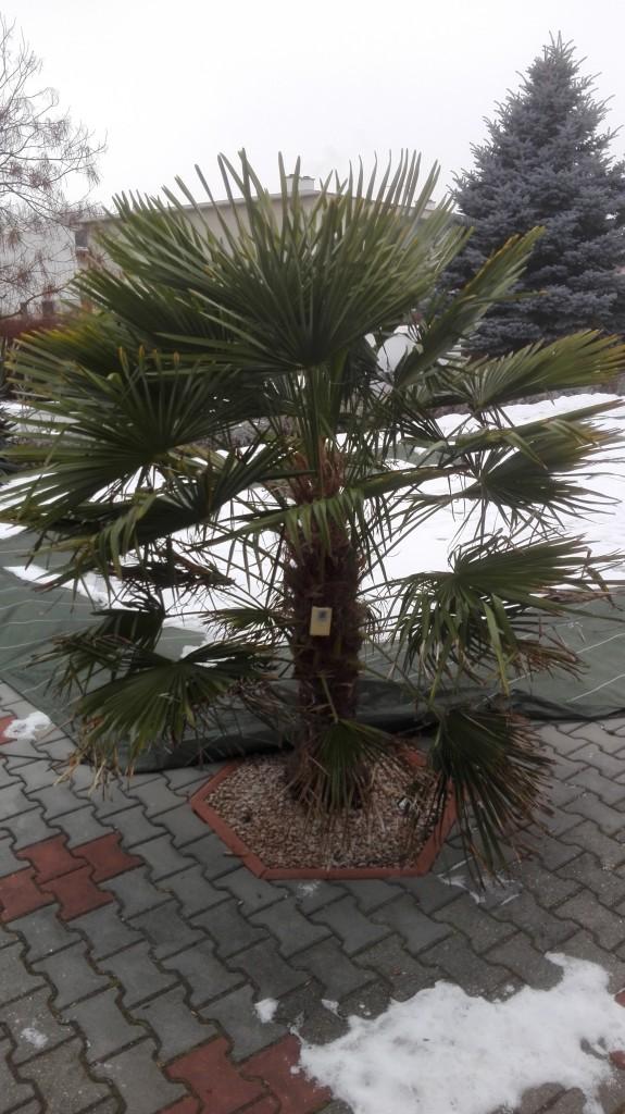 Trachycarpus fortunei, část 2 2ug183t