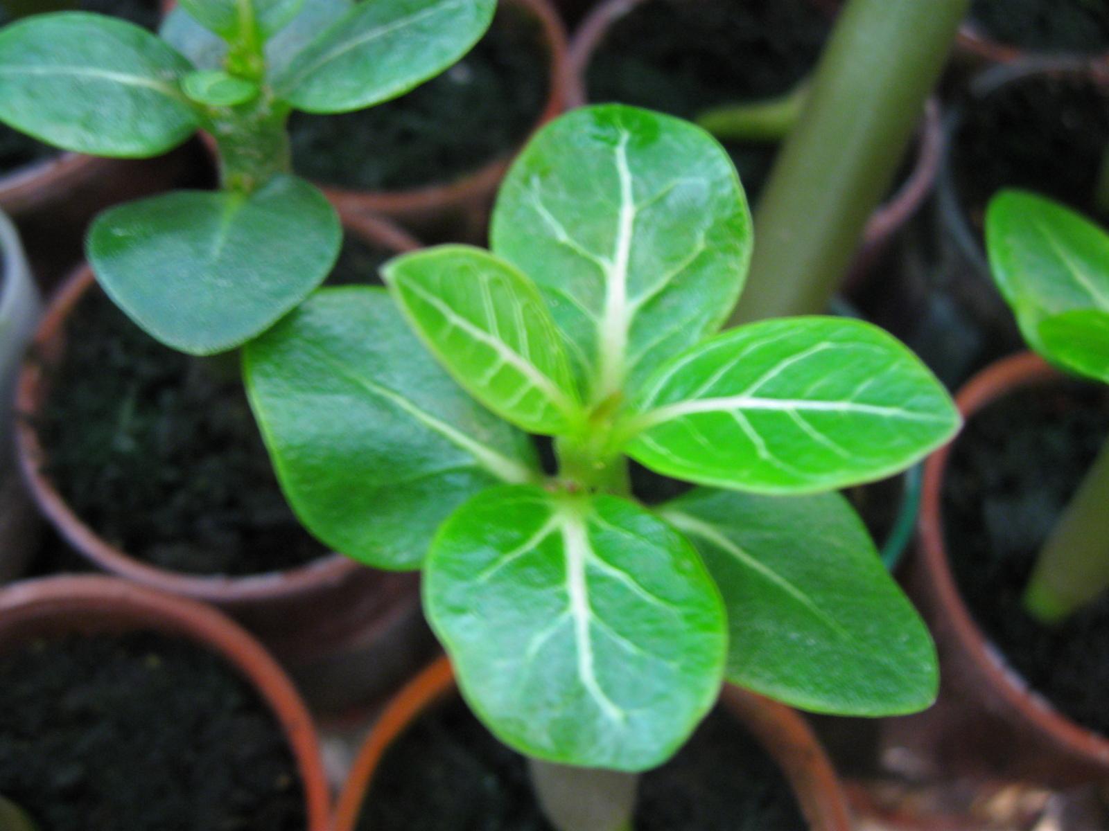 Prodajem sadnice Adenium arabicuma 2vx4l21