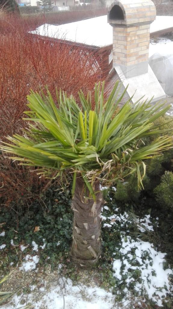Trachycarpus fortunei, část 2 2yuccqg
