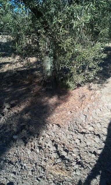 Olivar a finales de verano en Sierra Morena y el alto Guadalquivir 2ztca48