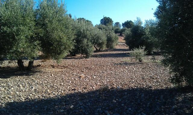 Olivar a finales de verano en Sierra Morena y el alto Guadalquivir 2zybvaa