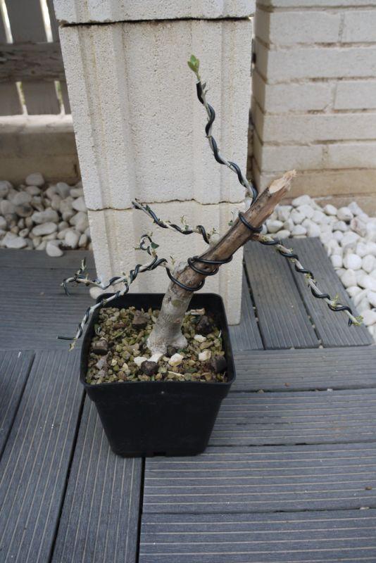 Mi primer olivo yamadori (ACTUALIZADO A VI/2018) - Página 2 330xklv