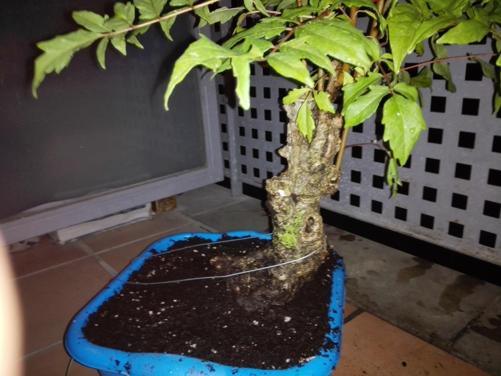 Recuperación, ailanthus altissima? 33c90n8
