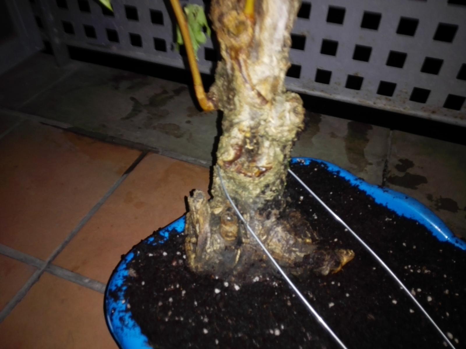 Recuperación, ailanthus altissima? 4qjyu1