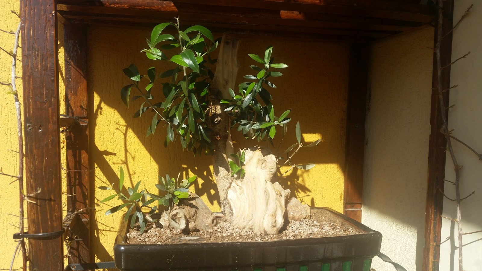 esqueje de tronco de olivo Av4fth