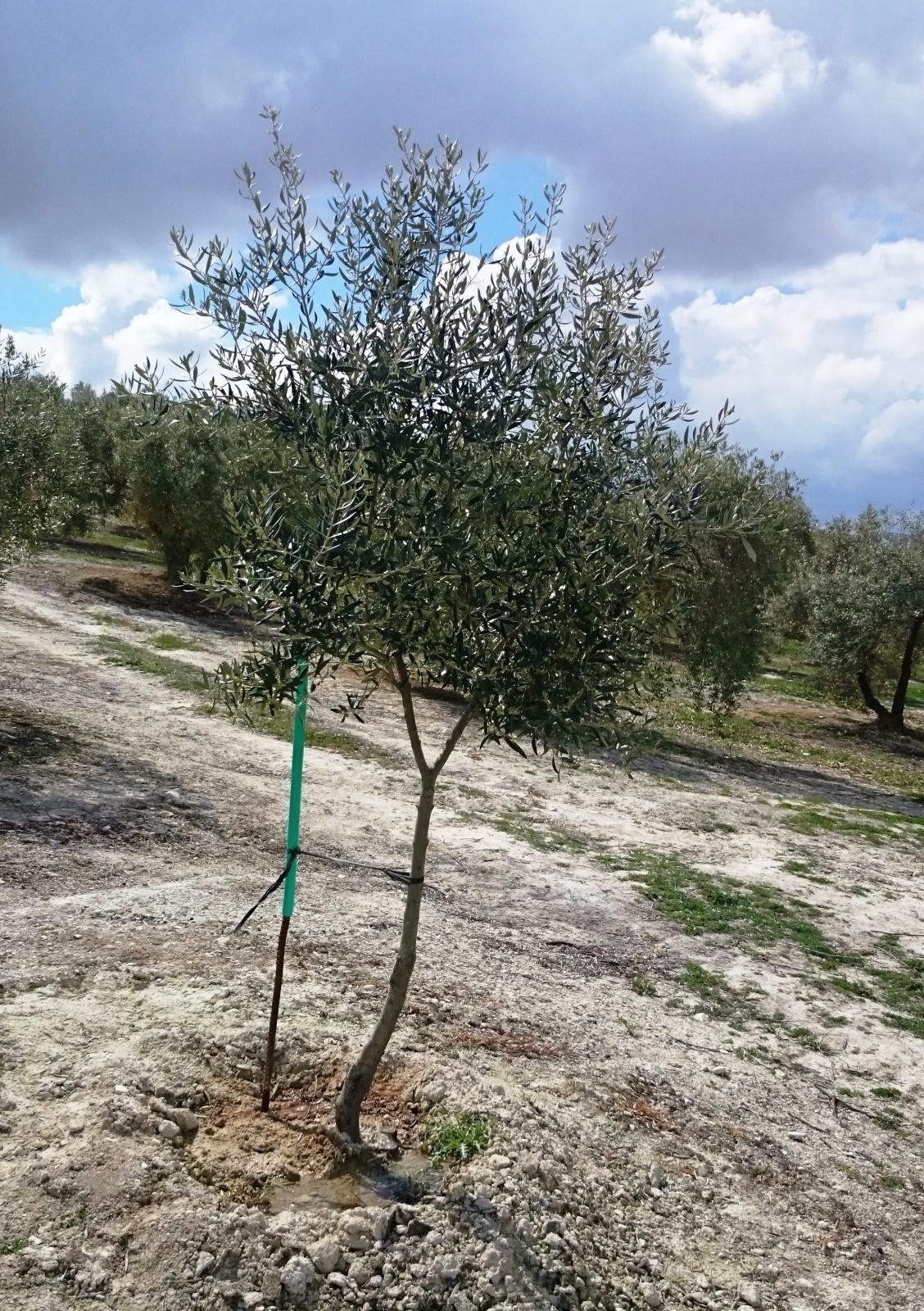 Crecimiento de plantones olivo - Página 9 Jjsb6g