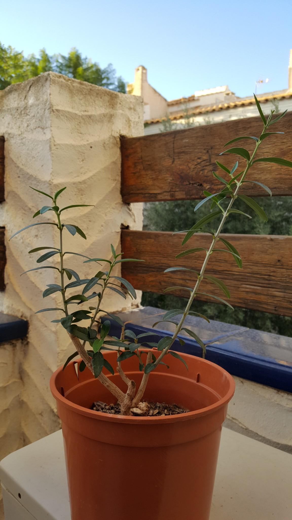 Consejos por favor, ¿Qué forma dar al olivito? Ndwhgi