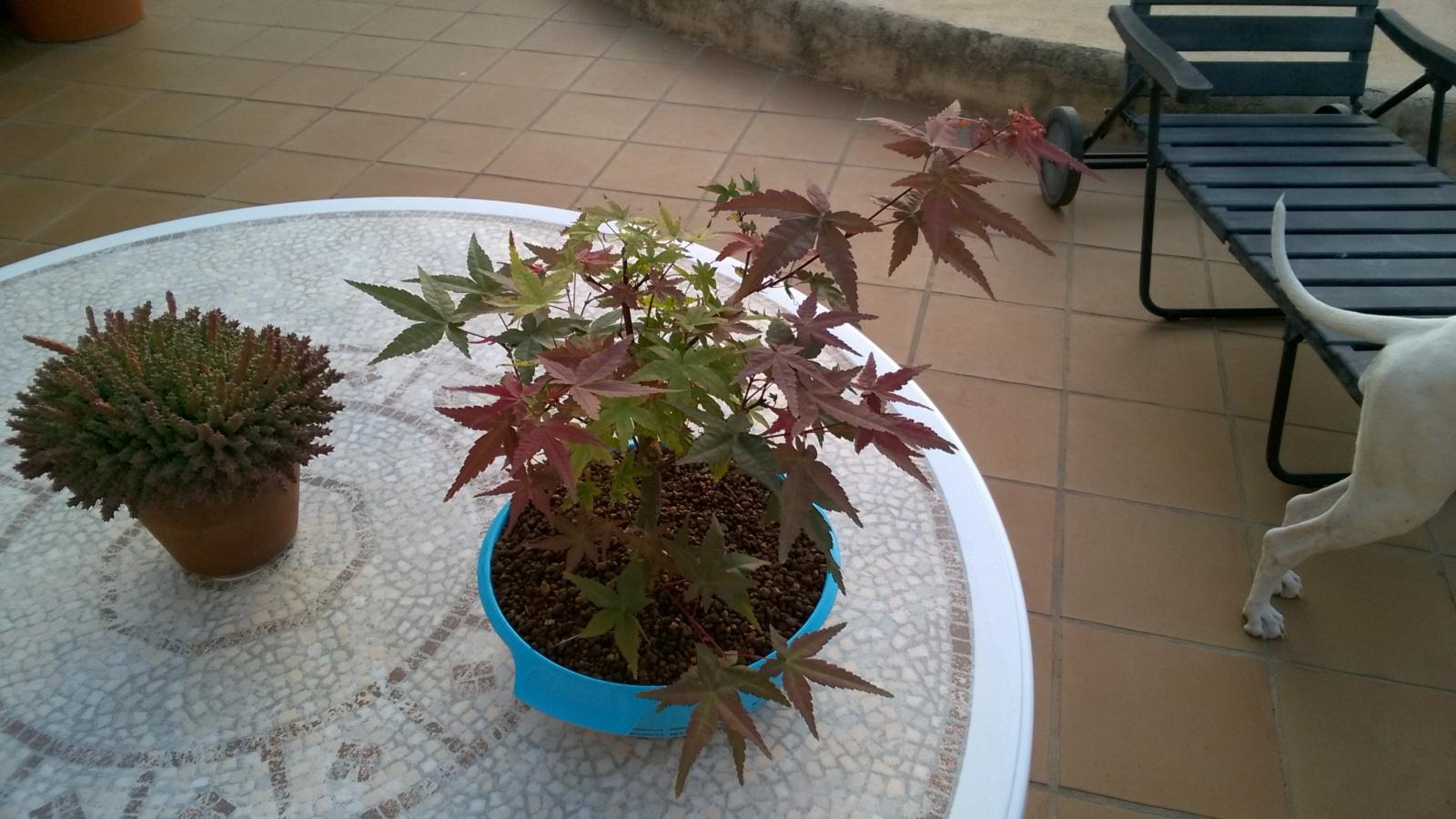 Acer palmatum brotando en septiembre Nqa8tl