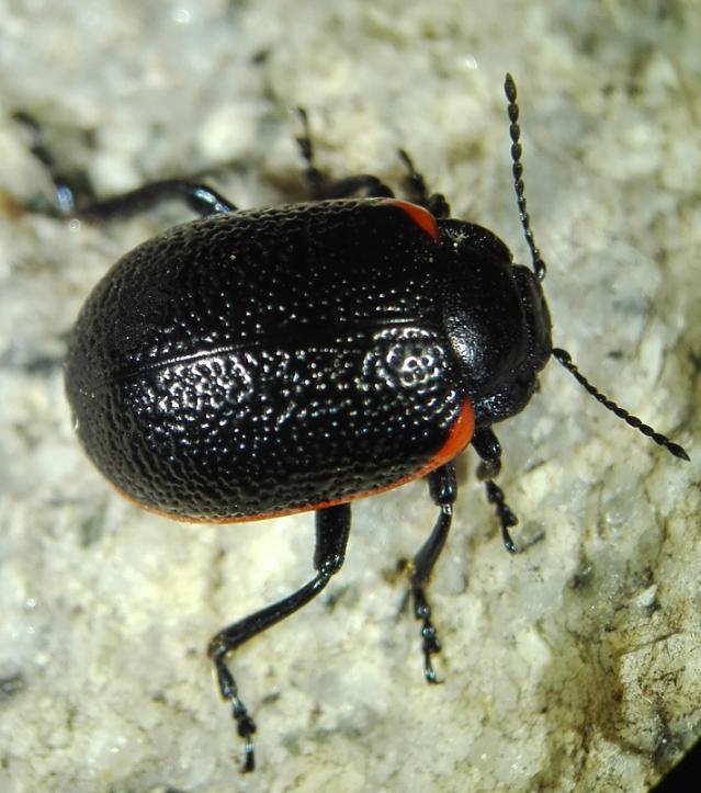 [identificado] Coleoptera Chrysomelidae Ofsdqe
