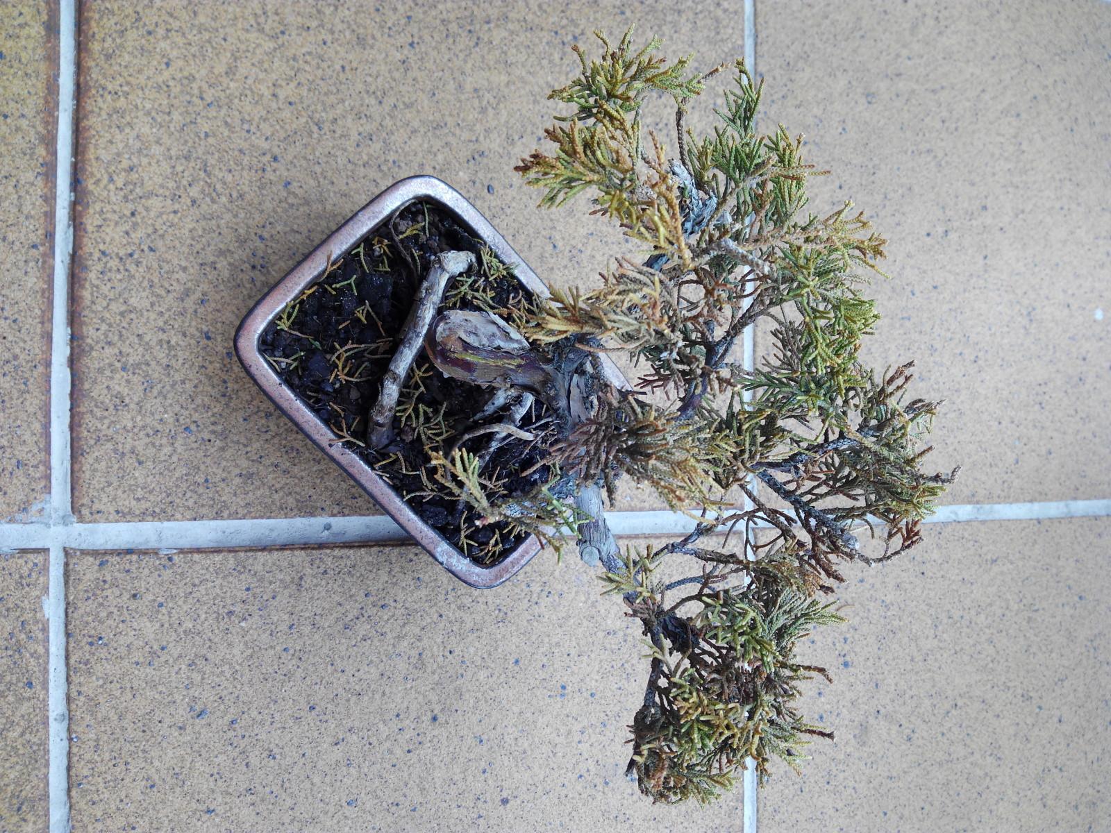 Juniperus Sl1k79