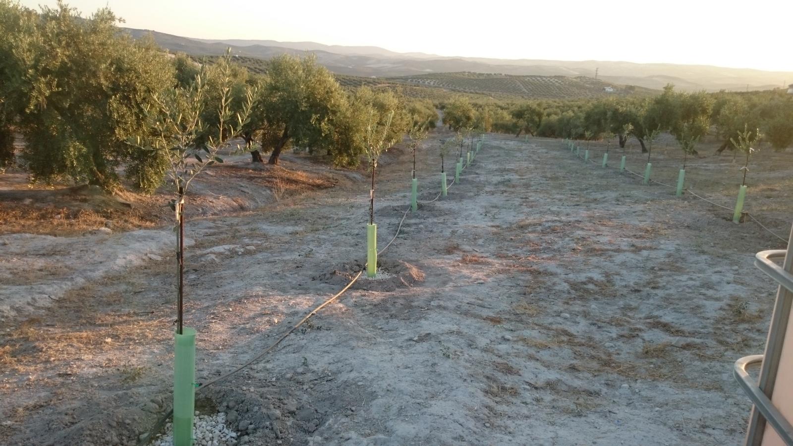 Crecimiento de plantones olivo - Página 9 V61bme