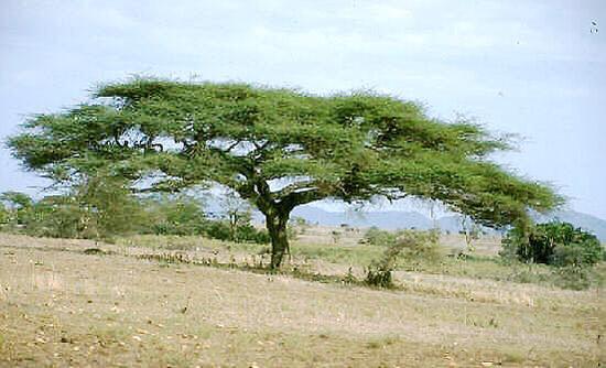 كل ما يتعلق بشجرة السنط ( الصمغ العربى – القرض )   V79onm
