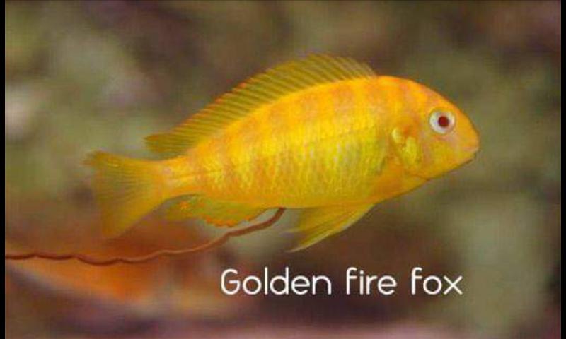 Tropheus golden firefox  X1hd7n