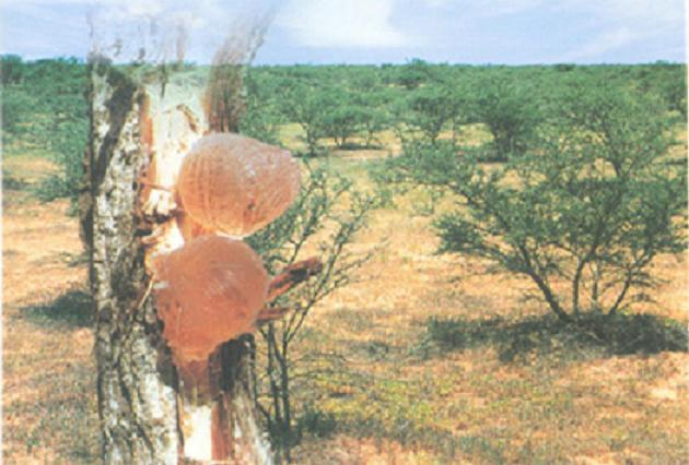 كل ما يتعلق بشجرة السنط ( الصمغ العربى – القرض )   1035yzd