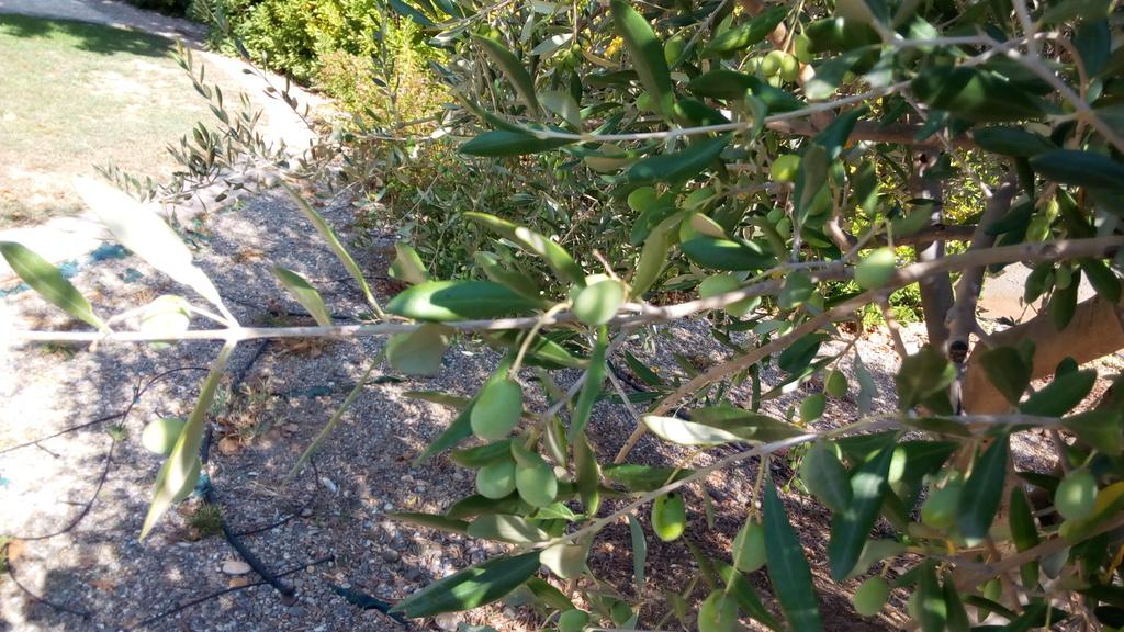 ¿Alguien me puede ayudar a identificar qué tipo de olivos tengo? 104576a