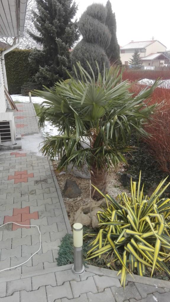 Trachycarpus fortunei, část 2 105v8yh