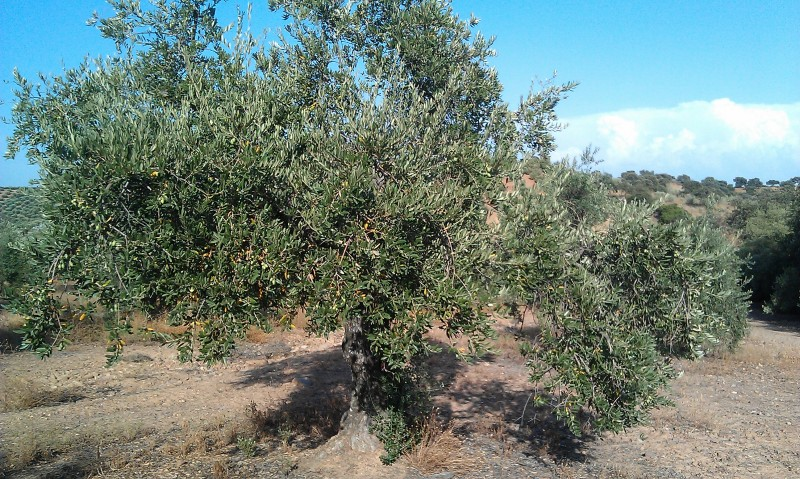 Olivar a finales de verano en Sierra Morena y el alto Guadalquivir - Página 3 21lsrki
