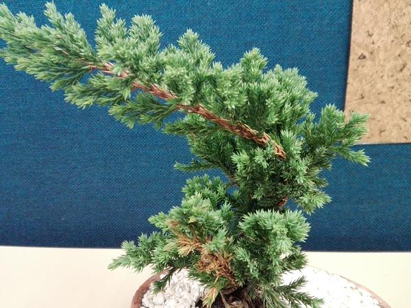 Bonsai Pino Nana o Juniperus Procumben 29w7jtf