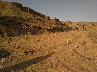 Crecimiento de plantones olivo - Página 9 29zrb78