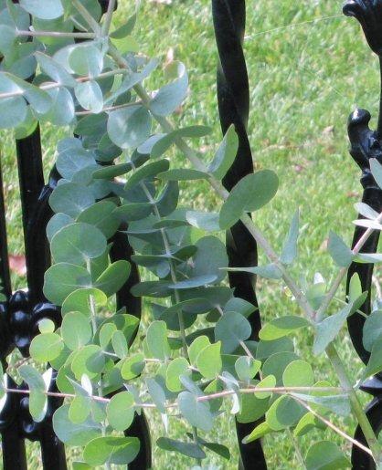 Cómo cultivar Eucalipto Cinerea [Pseudo Tutorial] 2iazxut