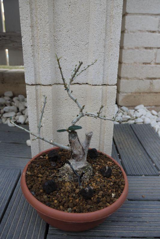 Mi primer olivo yamadori (ACTUALIZADO A VI/2018) - Página 2 2jb0a9