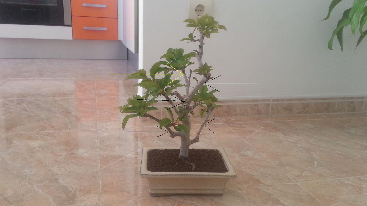 Mi primer bonsai: Malus Everest. 2n8ym8w