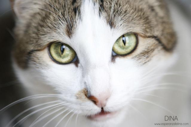 Dina, preciosa gata busca su hogar (Álava, fecha de nacimiento aproximada 10/04/2014 ) 5f59ba