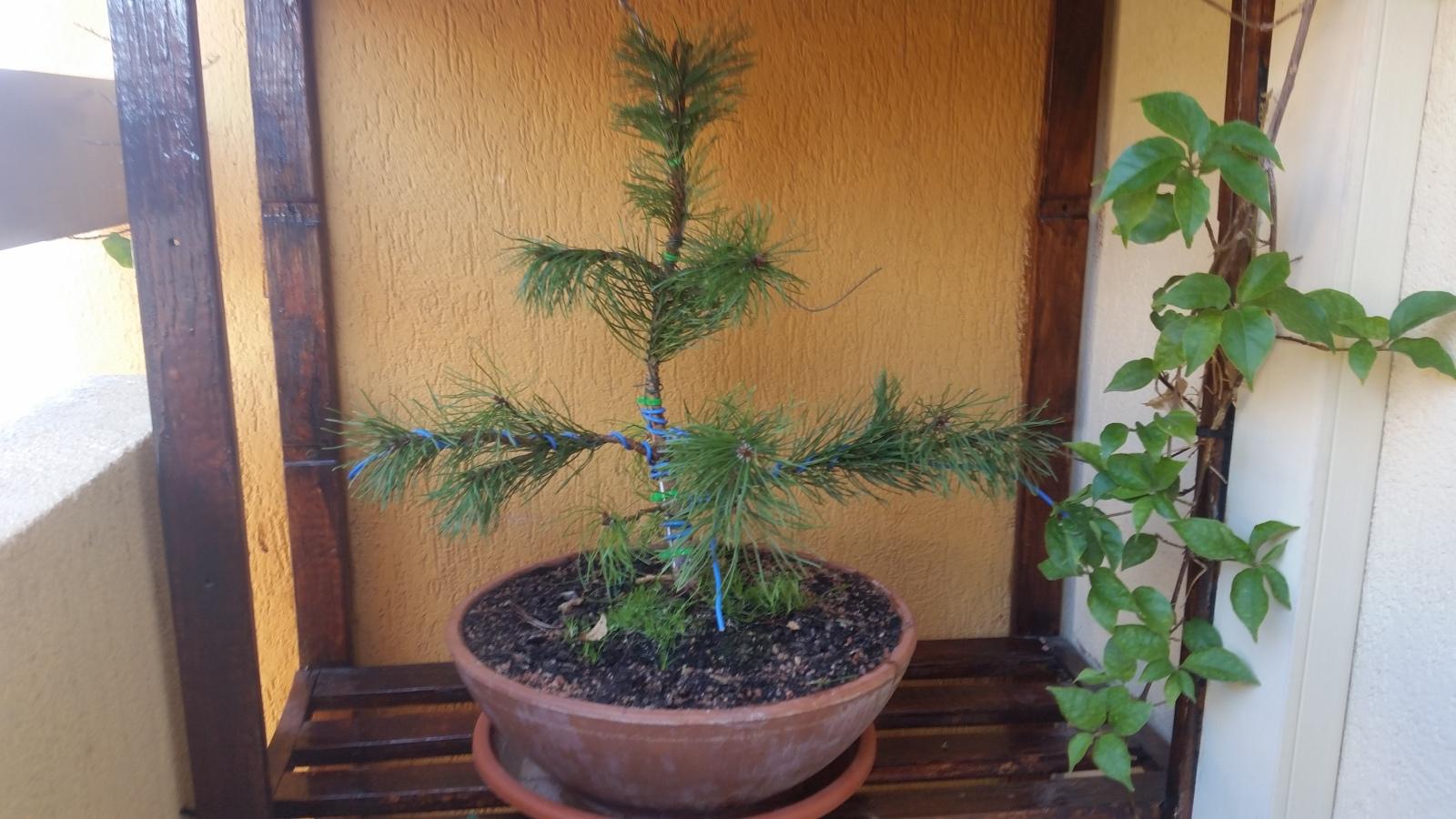 pino negro enano ( mugo ) A4nb5i