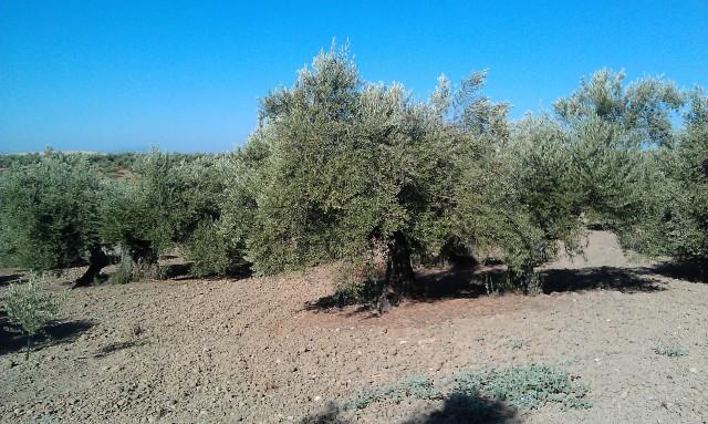 Olivar a finales de verano en Sierra Morena y el alto Guadalquivir Dmdu7o
