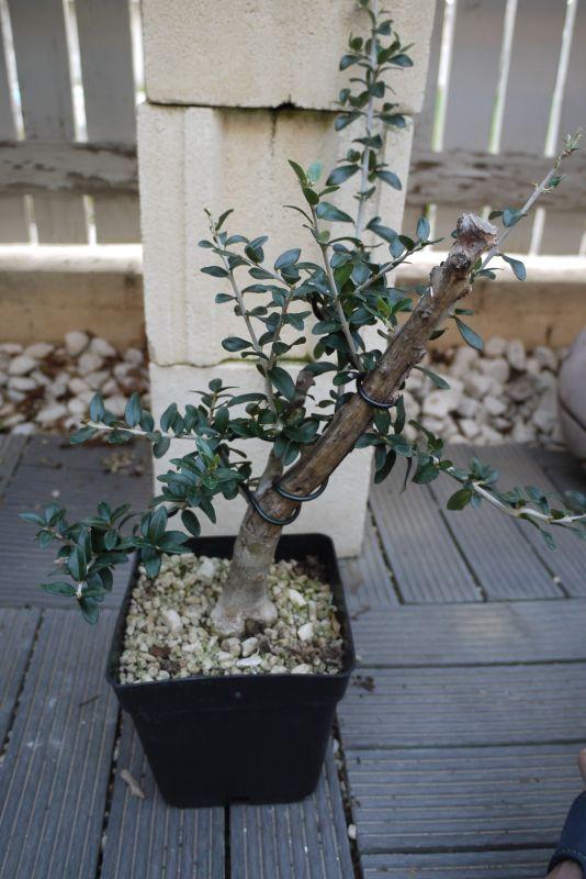Mi primer olivo yamadori (ACTUALIZADO A VI/2018) - Página 2 Fuqt8i