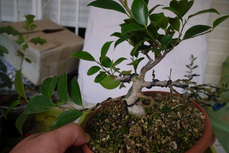 Primeros pasos de un Ficus tamaño shohin Mt16o