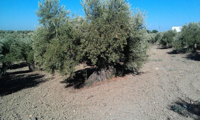 Olivar a finales de verano en Sierra Morena y el alto Guadalquivir Noyrme