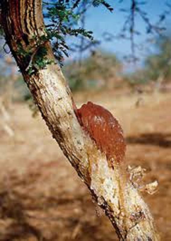 كل ما يتعلق بشجرة السنط ( الصمغ العربى – القرض )   R1wwhg