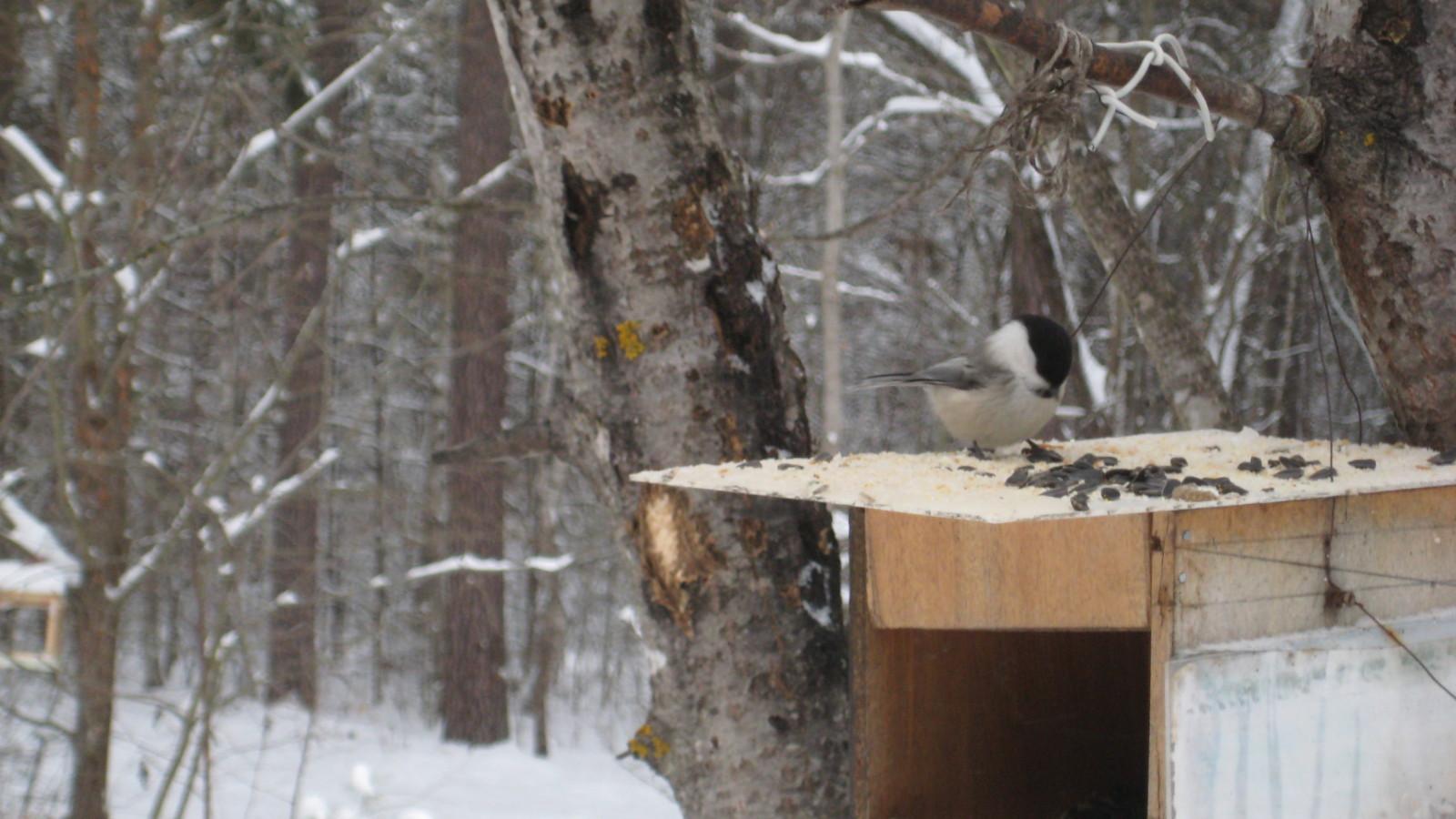 Птицы  калужского бора Vr32f9