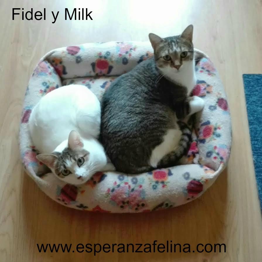 Fidel y Milk, pareja gatuna en adopción. (FN. Abril 2012) ¡Adoptados! X4j4m8