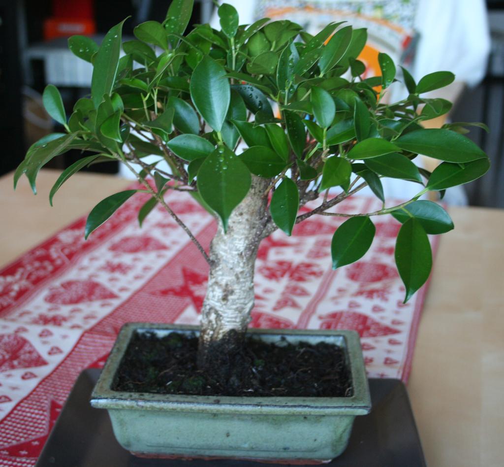 Mi primera vez: Ficus Retusa (muchas preguntas) Zoazxc