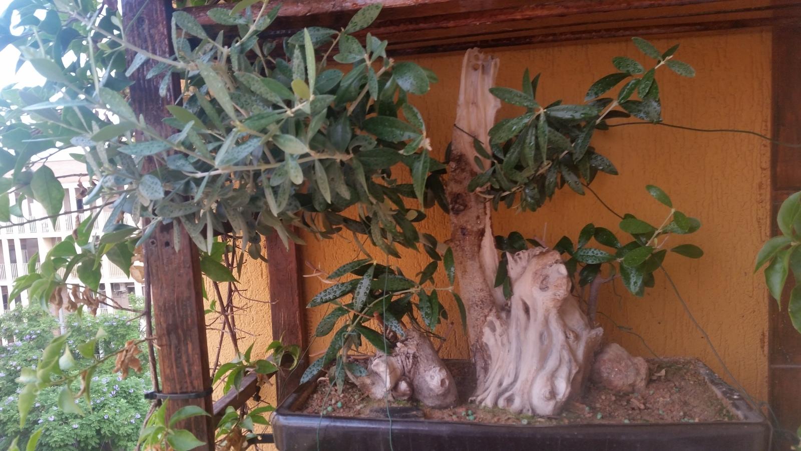 esqueje de tronco de olivo 1431ao