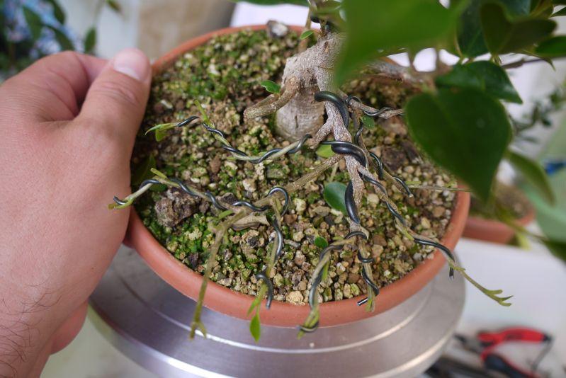 Primeros pasos de un Ficus tamaño shohin 14sd3pd